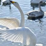 北海道網走市涛沸湖で白鳥