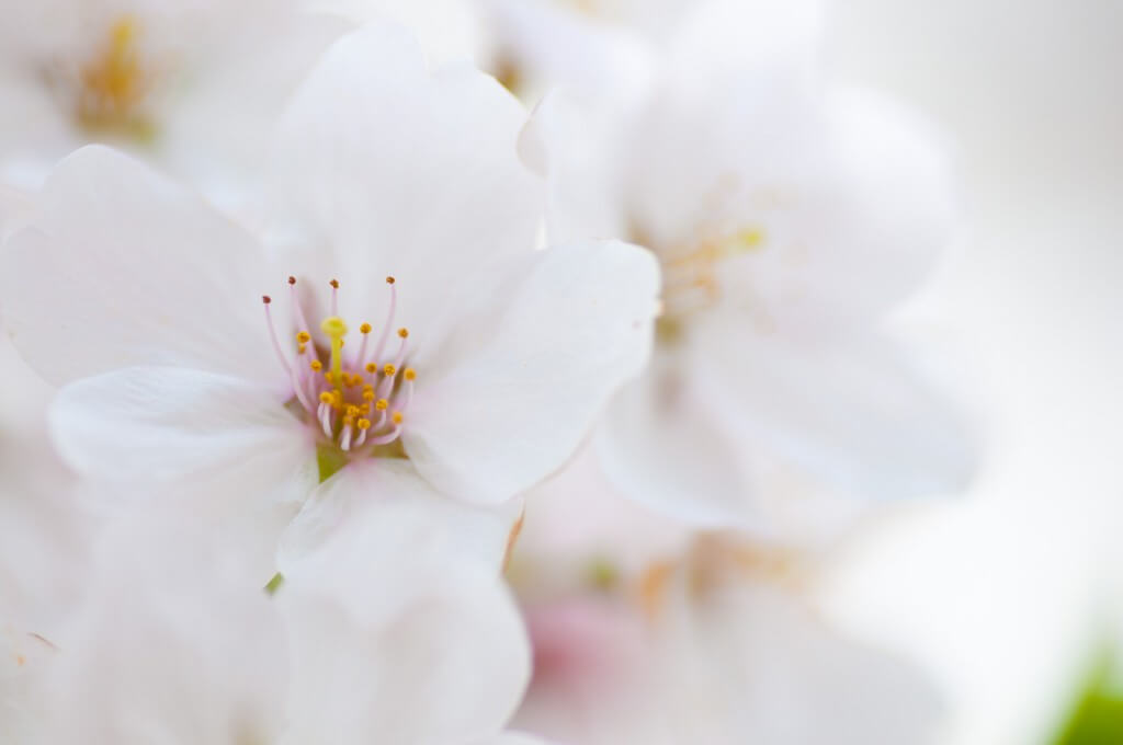 桜の撮影方法。綺麗に桜を撮影するレンズ・設定・構図のポイント