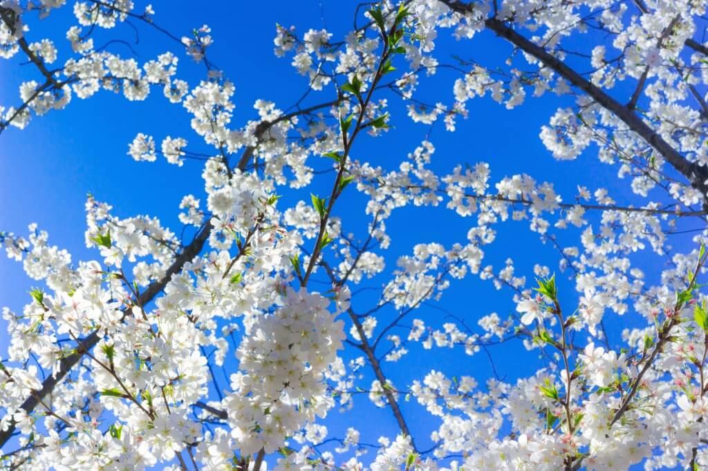 桜の撮影方法。綺麗に桜を撮影するレンズ・設定・構図のポイント!