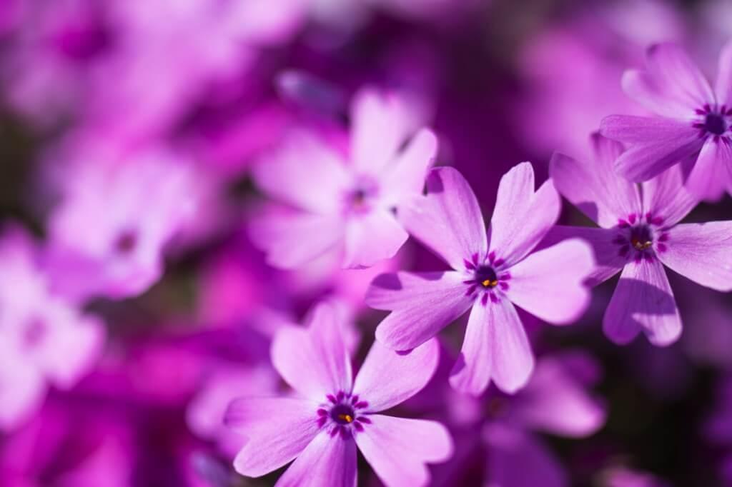 東藻琴芝桜