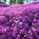 東藻琴芝桜公園で撮影!満開の芝桜は本当に綺麗でした!