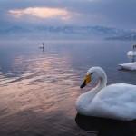 優雅に泳ぐ白鳥を撮影!屈斜路湖の砂湯に行ってきました!