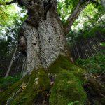 樹齢1200年の巨木を撮影してきた!巨木の撮影は難しい。