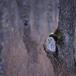 エゾフクロウを撮影してきた。かわいい森の賢者。